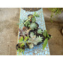 Crasas, Suculentas,epifitos, En Mac De Cultivo, Buen Tamaño