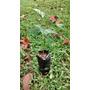Plantas Listas Para Sembrar (caoba)