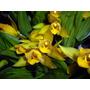Venta De Orquídeas Lycaste Aromatica