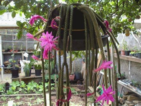 9958ecadf 250 Sementes Suculenta Pendente Rabo D Macaco Cacto Orquídea - R  12 ...