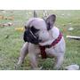 Servicio De Stud Bulldog Frances-importado -sangre Campeones