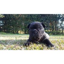 Bulldog Francés Cachorros Hembrita Machito