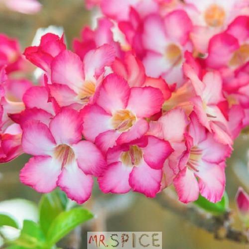 25341df549 Flor Mini Azaleia Multicoloridas E Sortidas 500 Sementes - R  8
