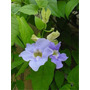Thubergia Grandiflora E04 (bignonia Azul) Envíos