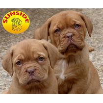 Dogo De Burdeos Cachorros - Espectaculares