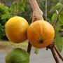 Mudas De Cambucá (plinia Edulis) A Fruta Mais Saborosa