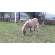 Caballos Miniatura Pony Color Grullo ( Potrillo )