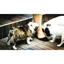 Cachorros Bulldog Ingles Gen Exótico