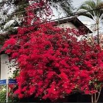 Mudas Primavera Vermelha 10 Mudas 30cm
