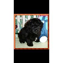 Filhote De Poodle Toy Black Macho