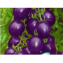 Tomates Cherry Semillas Organicas Calidad Y Variedad