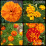 Sobres De Semillas De Flores De Copete