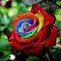 Semilla Rosa Arco Iris Flores Raras 10 Semillas