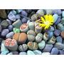 10 Sementes Cactos Cactus Lithops Pedra Viva + Frete Grátis