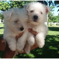 Filhote Macho De West Highland White Terrier