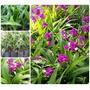 Muda Orquídea Terrestre - Spathoglottis Plicata - Flores<br><strong class='ch-price reputation-tooltip-price'>R$ 15<sup>00</sup></strong>