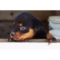 Vendo Filhotes De Rottweilers De Excelente Procedência