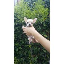 Excelente Chihuahua, Super Mini Con Importante Fca