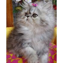 ***** Vendo Lindos Filhotes De Gatos Persa E Himalaia *****