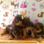 Vendo Venta Yorkie Yorky Shire Terrier Super Mini Plata