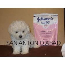 Caniches **hembras** Microtoy Envio Gratisss