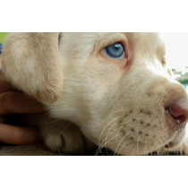 Filhotes Labrador, Pedigree, 5 Vezes Sem Juros