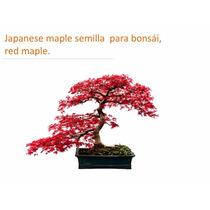 20 Semillas Maple Japones Acer Palmatum