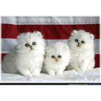 Filhotes Legítimos De Gato Persa Pronta Entrega 12xsem Juros