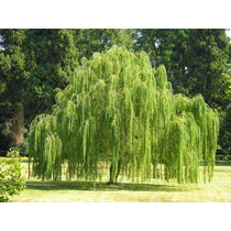 Sementes De Salgueiro Chorão Salix Babilonica P Mudas Arvore