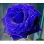 100 Sementes De Rosas Azul Flor Exóticas Pra Fazer Mudas