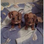 Cachorros Teckel Dachshund (salchichas)