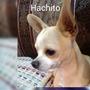 Chihuahua Cabeza De Manzana (monta)