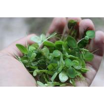 Salvinia Auriculata [planta Flutuante] [guppy Betta Lagos]