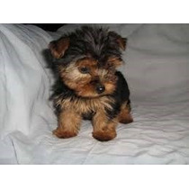 Yorkshire Terrier Mini Mi Ni