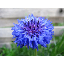 Centaurea Azul 10 Semillas Flor Jardín Planta Nmp Sdqro