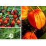 Physalis Franchetii Gigantea Sementes P Mudas Fruto Vermelho