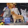 Cachorros Golden Con Pedigree Hijos De Campeón Mexicano