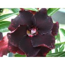 20 Sementes Rosa Do Deserto Adenium Obesum Kit Negras 5 Cada
