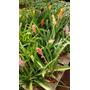 Bromelia Sp M14 (flores De Colores). Envíos
