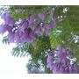 25 Azul Jacaranda Tree (fern Tree / Brasileña Rose Wood / Éb