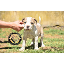 Pitbull Blue Brindle & White Disponible Ukc