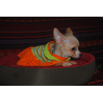 Chihuahuas Hembra Pelo Largo Con F.c.a. De Cartera Envios
