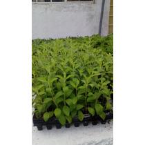 50 Plantulas De Stevia