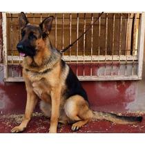Cachorro Ovejero Aleman (cria Seleccion Poa)(von Haus Nesan)