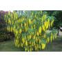 Espectaculares Árboles De Lluvia De Oro,flor Gigante!