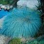 Sementes Grama Azul Festuga Glauca Jardim-muda-flor-exótica