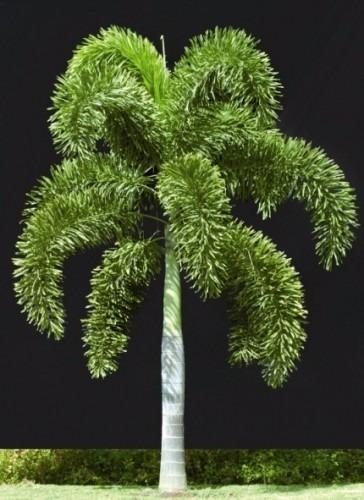 Resultado de imagem para palmeira rabo de raposa