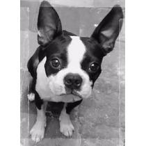 Boston Terrier Ofrece Servicio De Monta