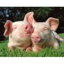 Corrida Financiera Para Proyecto De Cría Y Engorda Cerdos
