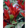 Photinia Fraseri 15 Lts Plantas Cerco Puerto Jardin Envios